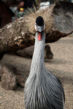 East African Crowned Crane, Bird With Spiky Hair