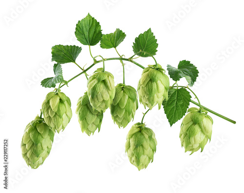 Branch of hop with leaves isolated on white background. Tapéta, Fotótapéta