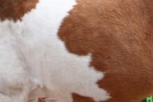 Braun Weißes Fell Eines Pferdes