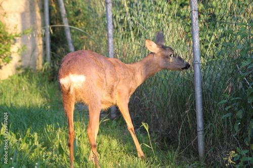 Poster Ree Roe Deer (Roebuck, Capreolus Capreolus)