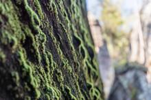 Moss Green Growing On A Rock.