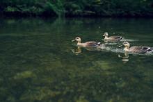 川辺を泳ぐ鴨