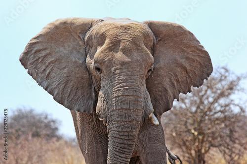 Poster Olifant Elefant im Etosha Nationalpark, Namibia