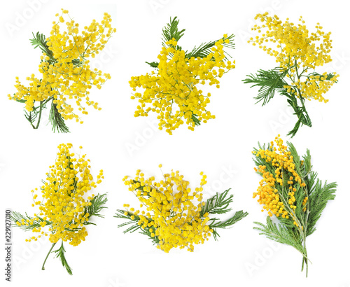 mimosa flower isolated on white background set