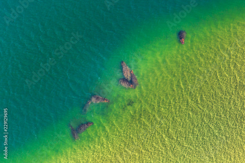 Aerial view of group of South African hippopotamus family. Cape hippopotamus angry on a water in St Lucia Estuary. Scenic tourist flight over iSimangaliso Wetland Park, South Africa. Copy space.