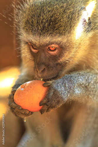 Fotografie, Obraz  Portrait of Vervet Monkey, Chlorocebus pygerythrus, a monkey of the family Cercopithecidae native to Africa while eating an egg