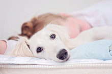 A Closeup Of A Relaxed Dog, Little Cute White Saluki Puppy (persian Greyhound) Together With A Young Girl Who Owns The Pet. A Tired Teenager Is Resting Blurry On The Background.