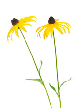 Black Eyed Susan- Rudbeckia Flowers Isolated On White Background.