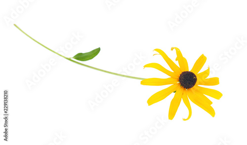 Black eyed susan- rudbeckia flower isolated on white background. Fototapeta