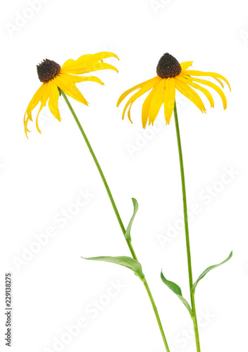 Valokuva  Black eyed susan- rudbeckia flowers isolated on white background