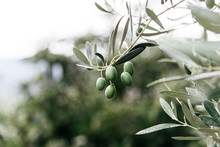 Olives Hanging From The Tree In An Orchard In Southern Italy.