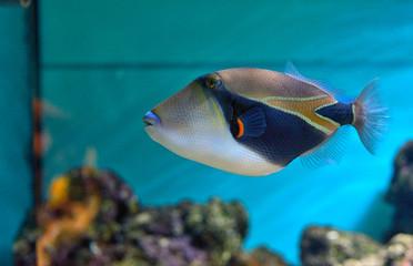 Fototapeta Lagoon triggerfish Coral reef