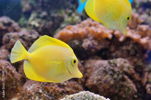 Fotografie, Tablou  Zebrasoma fish in aquarium