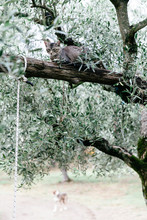 A Cat In An Olive Tree In Sout...