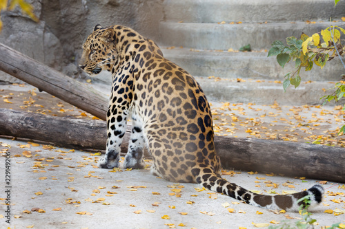 Amur leopard. It is a predatory mammal of the cat family. The unique species in danger of extinction.