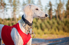 White Young And Alert Saluki Puppy Dog Outdoors In The Lovely Hot Summer Weather In Finland. She's Having A Red Running Vest On And Collars On Her Neck.