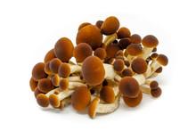 Funghi Pioppini Agrocybe Aegerita