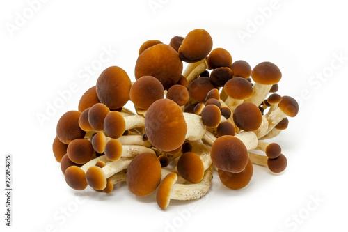Obraz na plátně funghi pioppini agrocybe aegerita