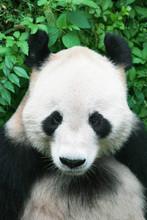 Chinese Panda In Beijing Zoo Two
