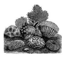 Vector Vintage Stony Corals Engraving