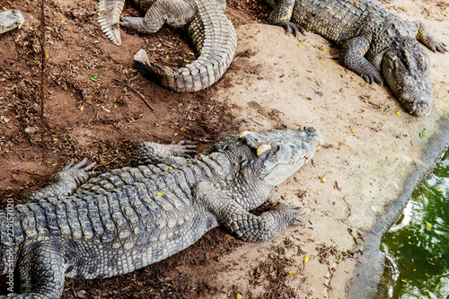 Crocodile on ground in farm.
