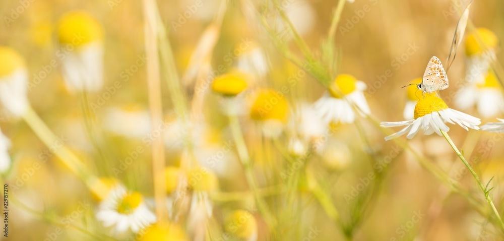 Kleiner Sonnenröschenbläuling (Aricia agestis), saugt Nektar auf Margerite (Leucanthemum), Parc naturel régional des Caps et Marais d'Opale, Frankreich, Europa