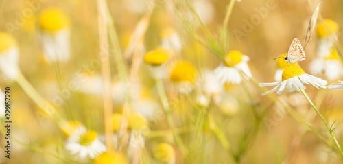 Photo Kleiner Sonnenröschenbläuling (Aricia agestis), saugt Nektar auf Margerite (Leuc