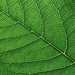 Macro photo of dark green leaf. Natural pattern of leaf vein as a background for your ideas. Top view