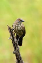 The Arrow-marked Babbler (Turd...
