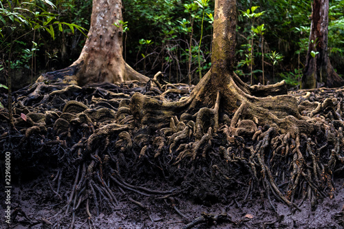 Mangrove tree roots in jungle Fototapet