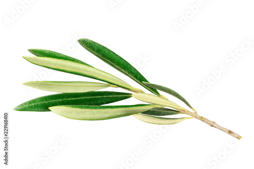 A photo of a vibrant green olive tree branch, isolated on a white background with a clipping path