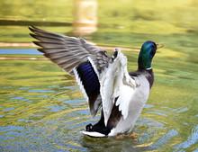 Pato En El Agua