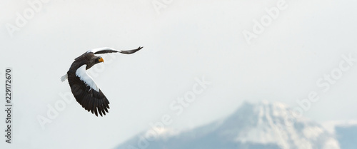 Adult Steller's sea eagle in flight. Winter Mountain background. Scientific name: Haliaeetus pelagicus. Natural Habitat. Winter Season.