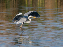 Grey Heron With Open Wings Fishing On The Pond