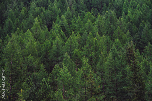 Fotografia Detailed texture of conifer forest on hill close up