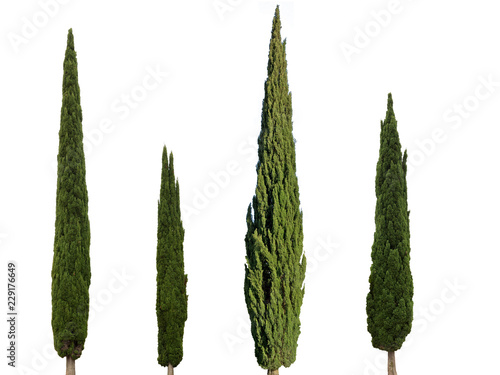 Fotomural Cupressus sempervirens mediterranean cypress trees isolated on white background
