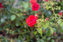 Color Outdoor Floral Image Of A Red Rose Blossom With Many Buds Taken On A Sunny Summer Day With Blurred Natural Green Background