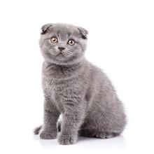 Scottish Fold Kitten. Fluffy Kitten Sitting Sideways, Isolated O