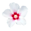 canvas print picture - Hibiskus