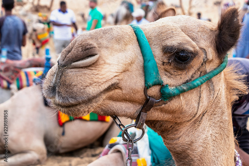 Close-up of Camel in Egypt