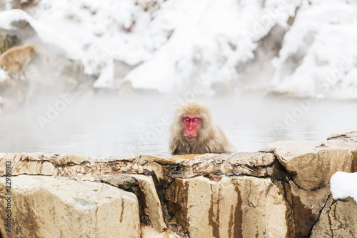In de dag Aap animals, nature and wildlife concept - japanese macaque or snow monkey in hot spring of jigokudani park