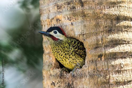 Photo Pica-pau verde barrado ninho