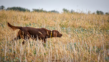 Red Irish Setter Dog In Field....