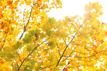 Autumn Leaves, Fall Blur Background, View Under Tree Looking Upward Against Sky With Sun Flare And Blurry Red Orange Yellow And Green Colorful Color Of Season Change