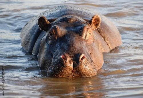 Valokuva Hippo in water