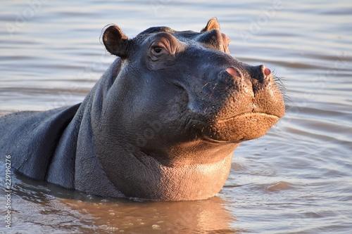 Photographie Proud Hippo