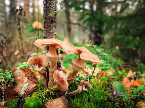 Dark honey fungus, Armillaria ostoyae Canvas Print