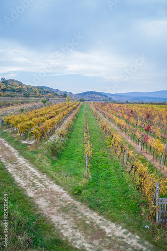 Poster Rijstvelden Autumn vineyards in Pezinok. Not far from Bratislava. Slovakia.