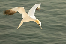 Cormorant Hovering