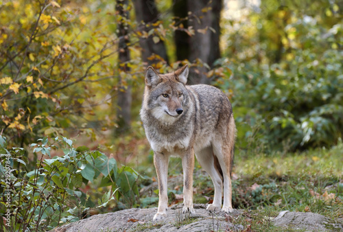 Canvas coyote in nature during fall